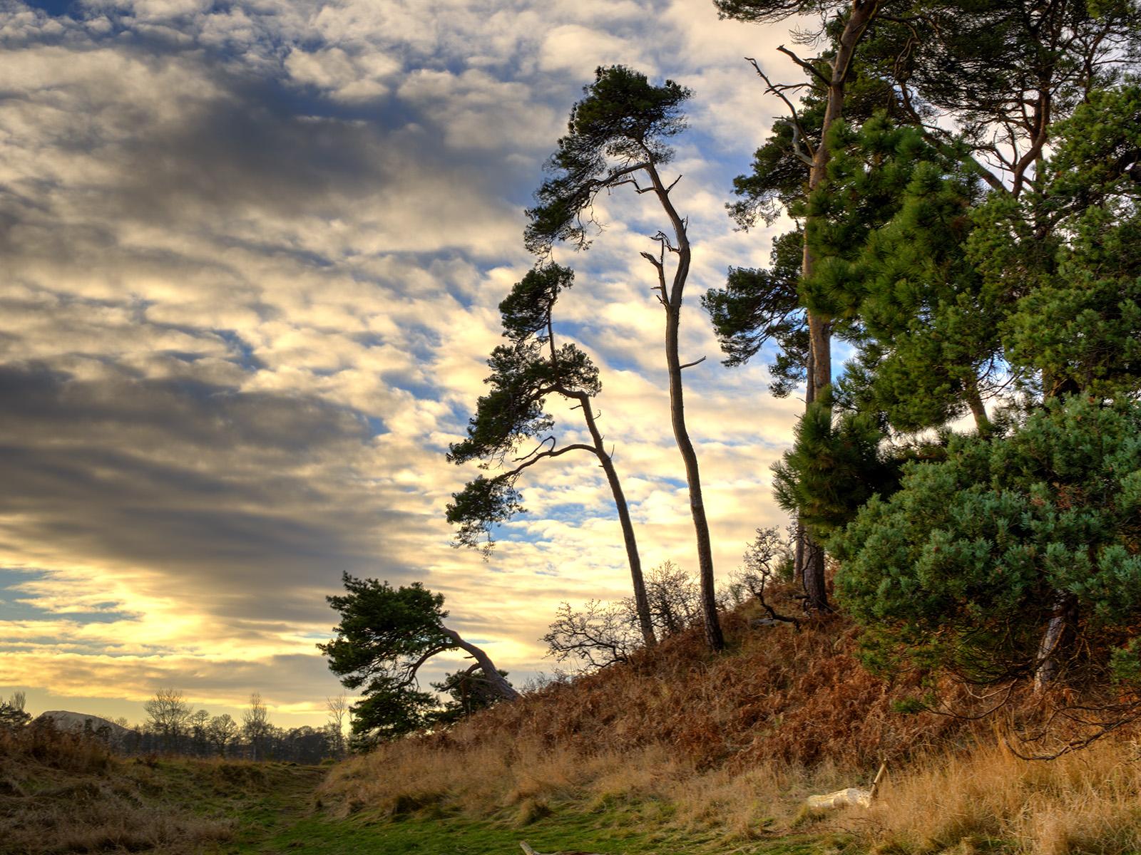Trees Tyninghame.jpg