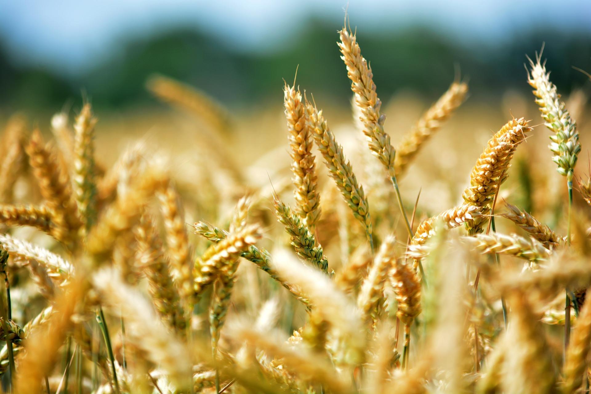 2018_wheat_3.jpg