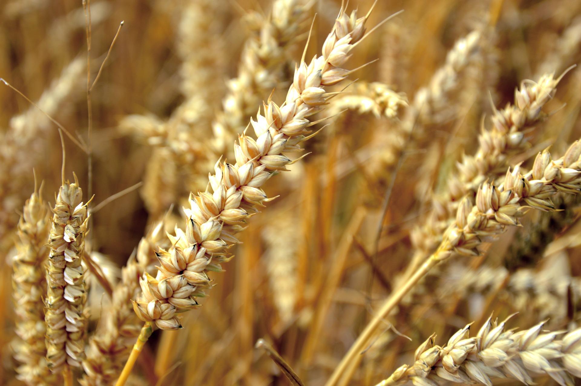2018_wheat_7.jpg