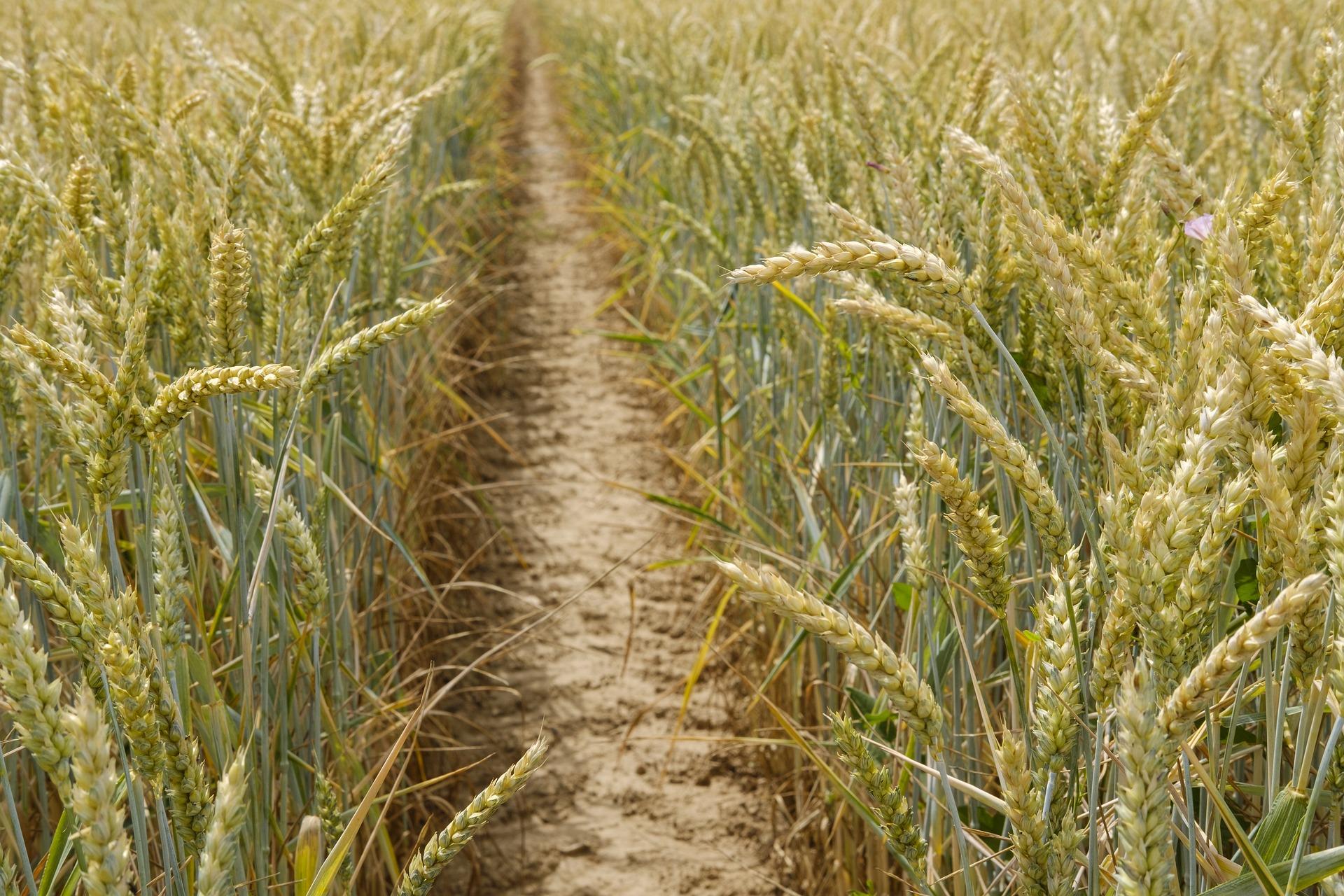 wheat-3506757_1920.jpg