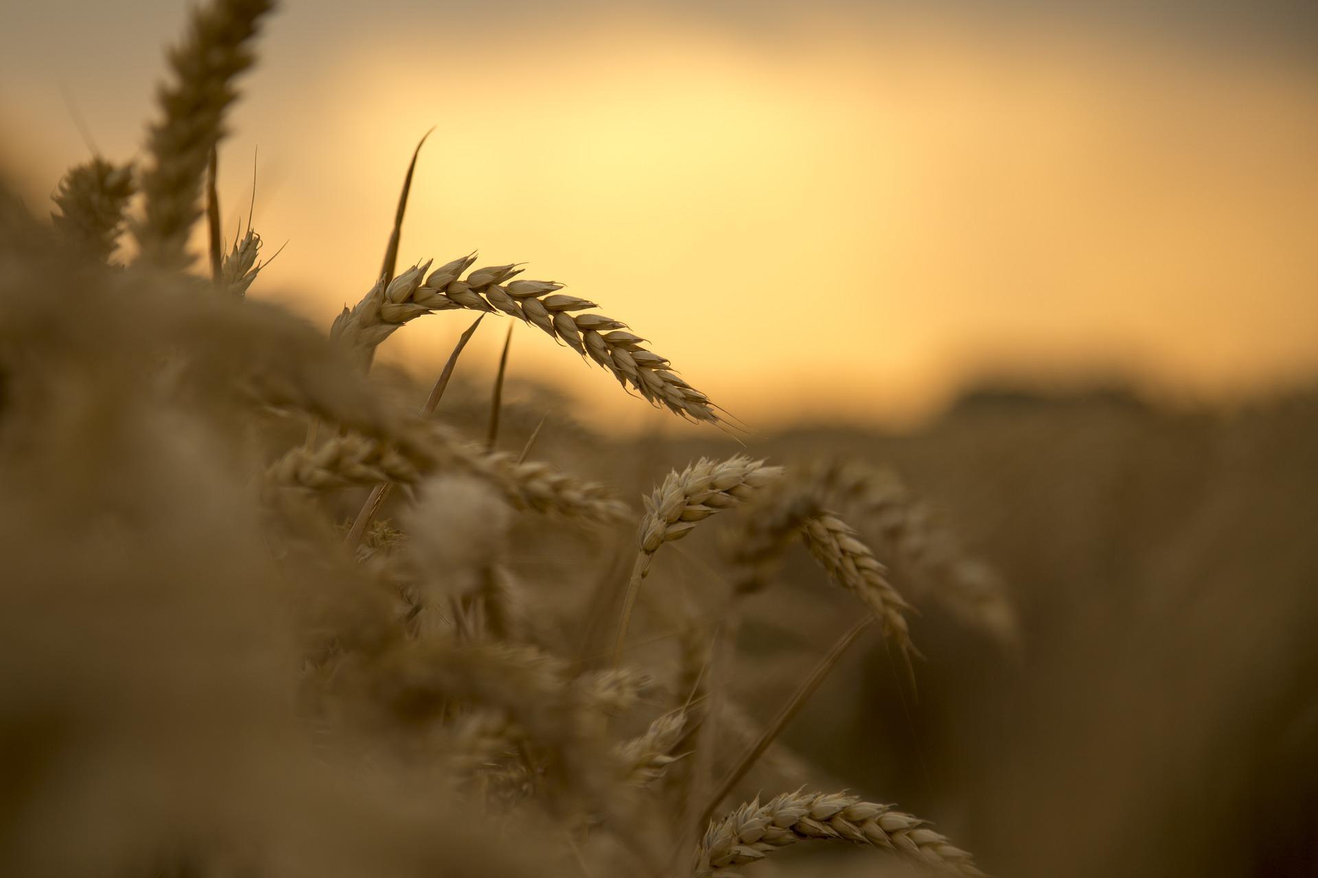 wheat-3534233_1920.jpg