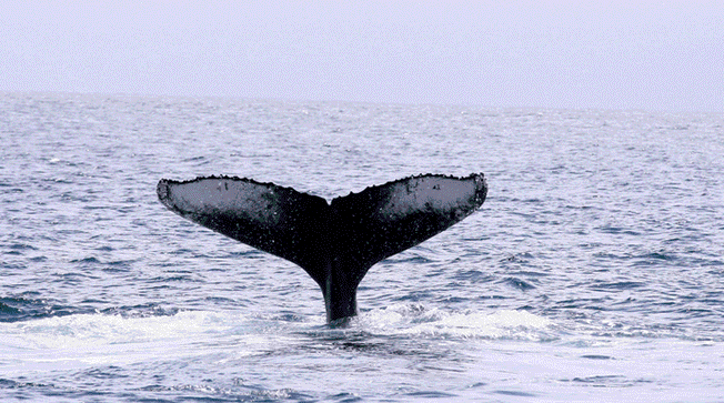 No aceptan crear santuario para ballenas