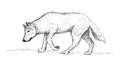 young-wolf-pencil-illustration.jpg