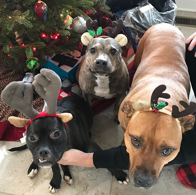 Happy National Pet day to all the fur babies out there!  A special shout out to our rescue pitties ; Bubba, Rosie Callie , Chaz and Chops. 🐶 . . . . . . #cuceshoes #fabgating #mascot #nationalpetday #adoptdontshop #rescuedog #rescuedogsofinstagram #pitbullsofinstagram #dontbullymybreed #bekind #lovemydog #dogmom #stoppuppymills #savealife