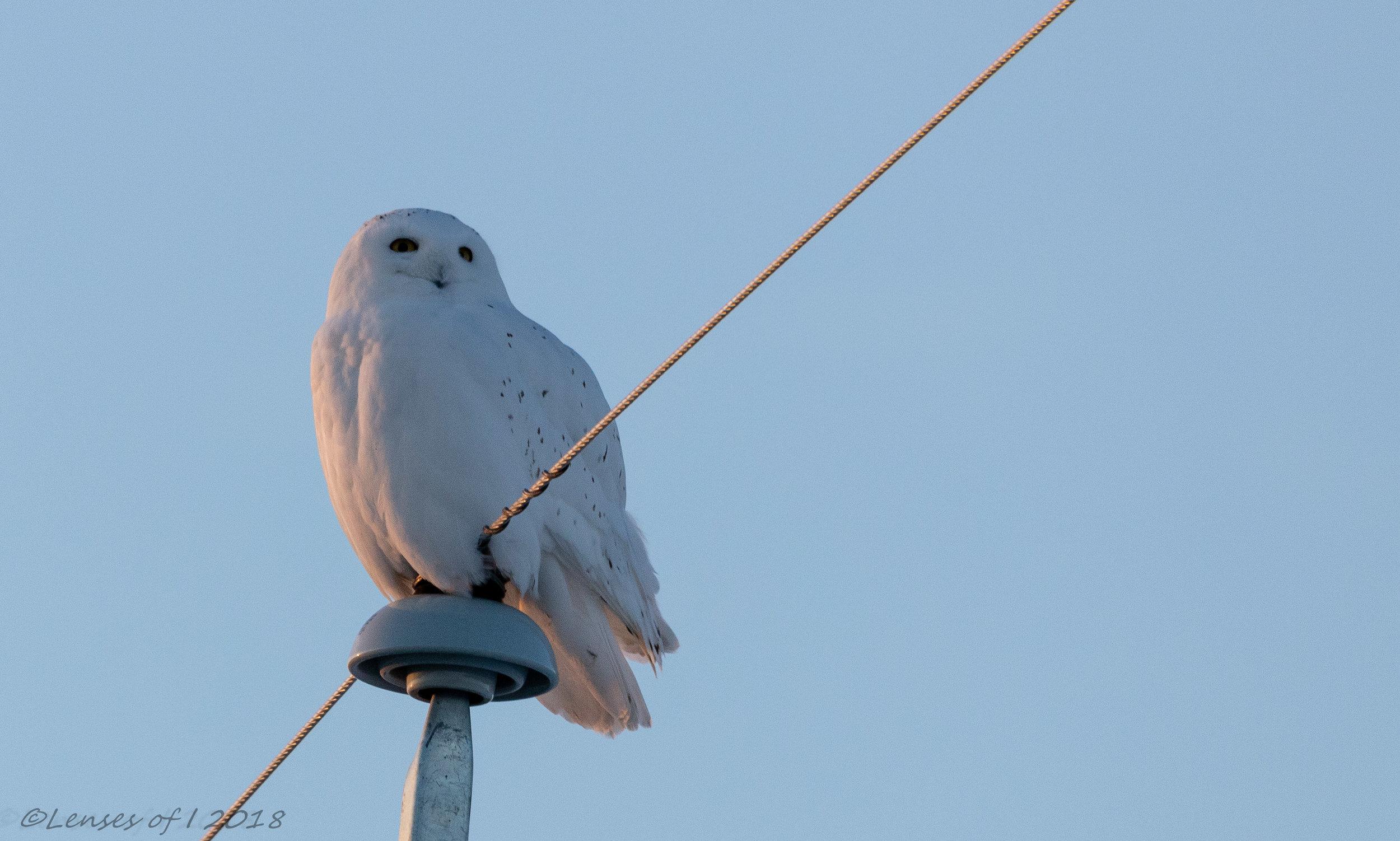 Snowy owl east of Calgary