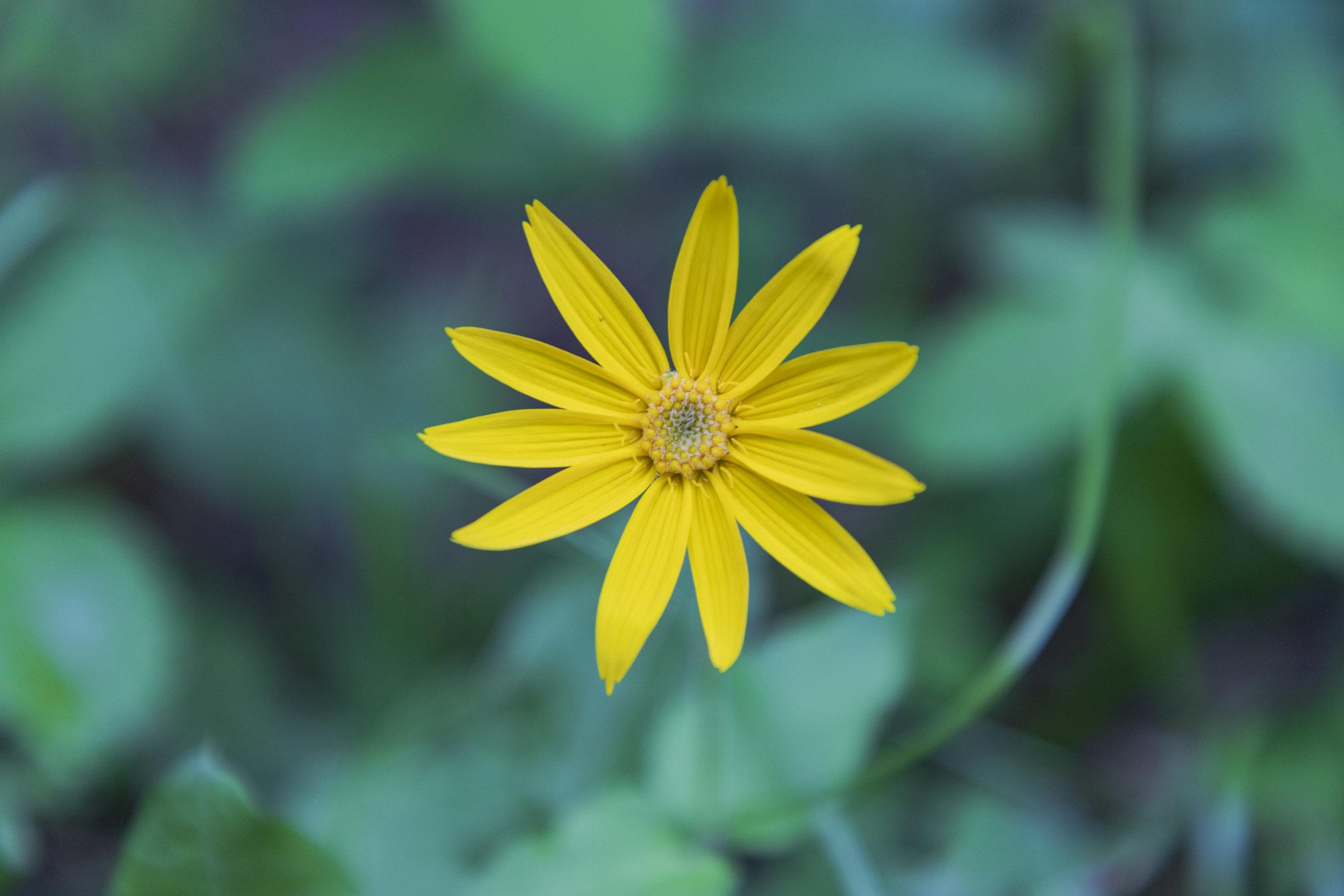 Arnica, Arnica cordifolia.