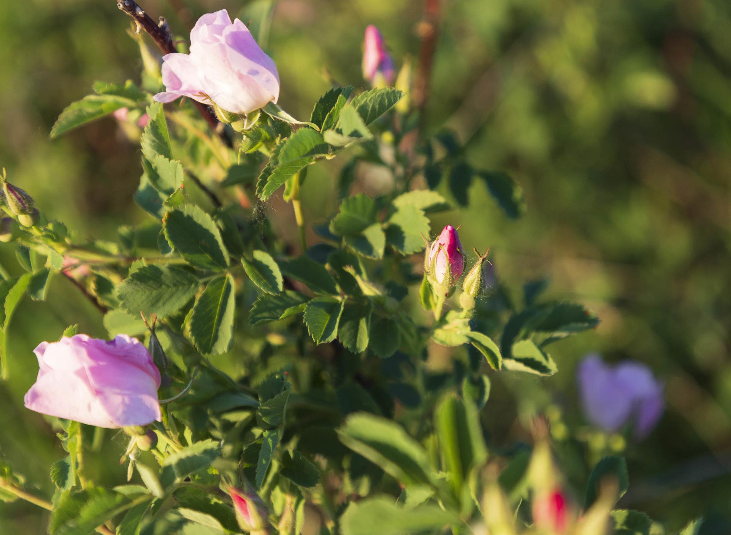 Alberta Wild Rose,  Rosa acicularis
