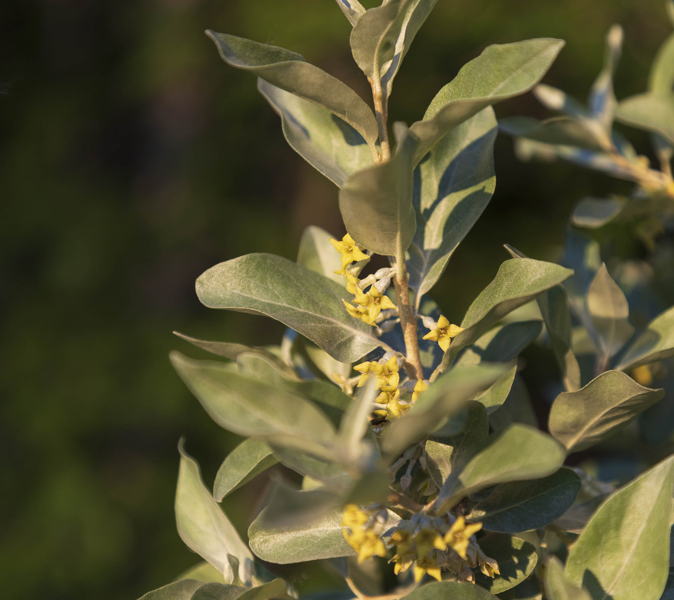 Elaeagnus commutata , the silverberry or wolf-willow