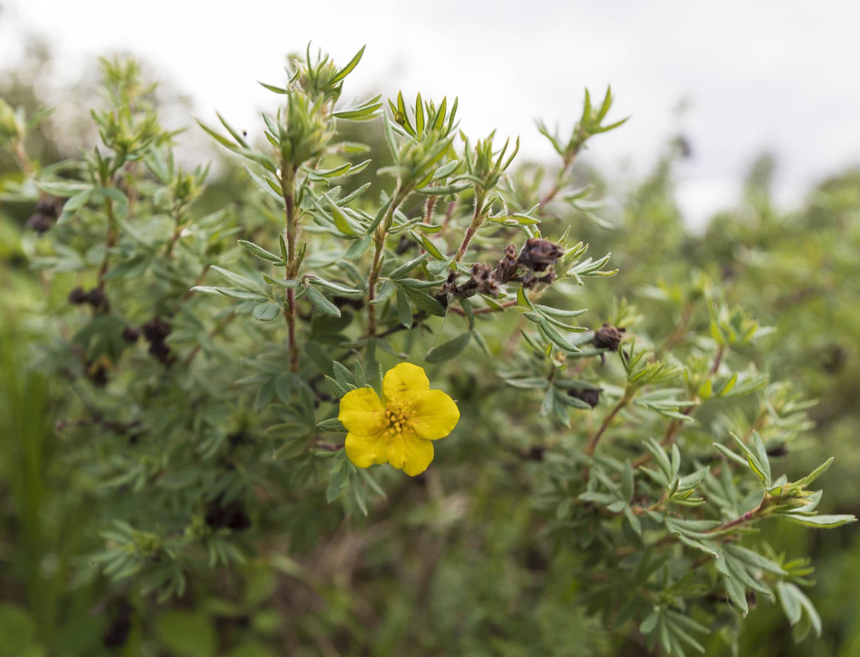 Dasiphora floribunda ,  Shrubby Cinquefoil