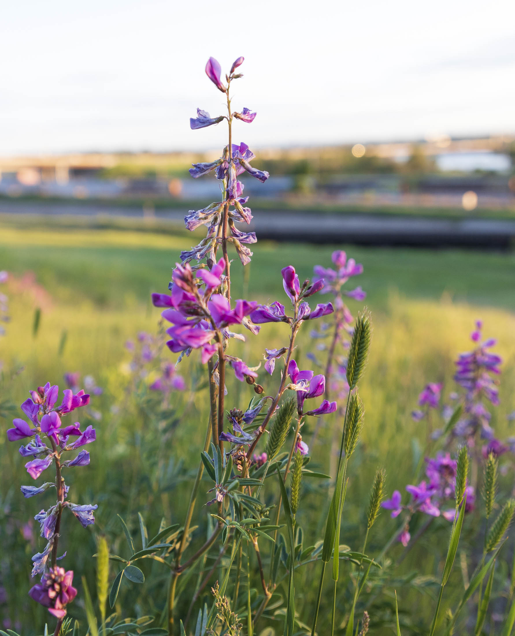 Fireweed or Purple loosestrife