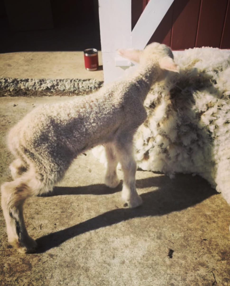 Alaska Grown Wool