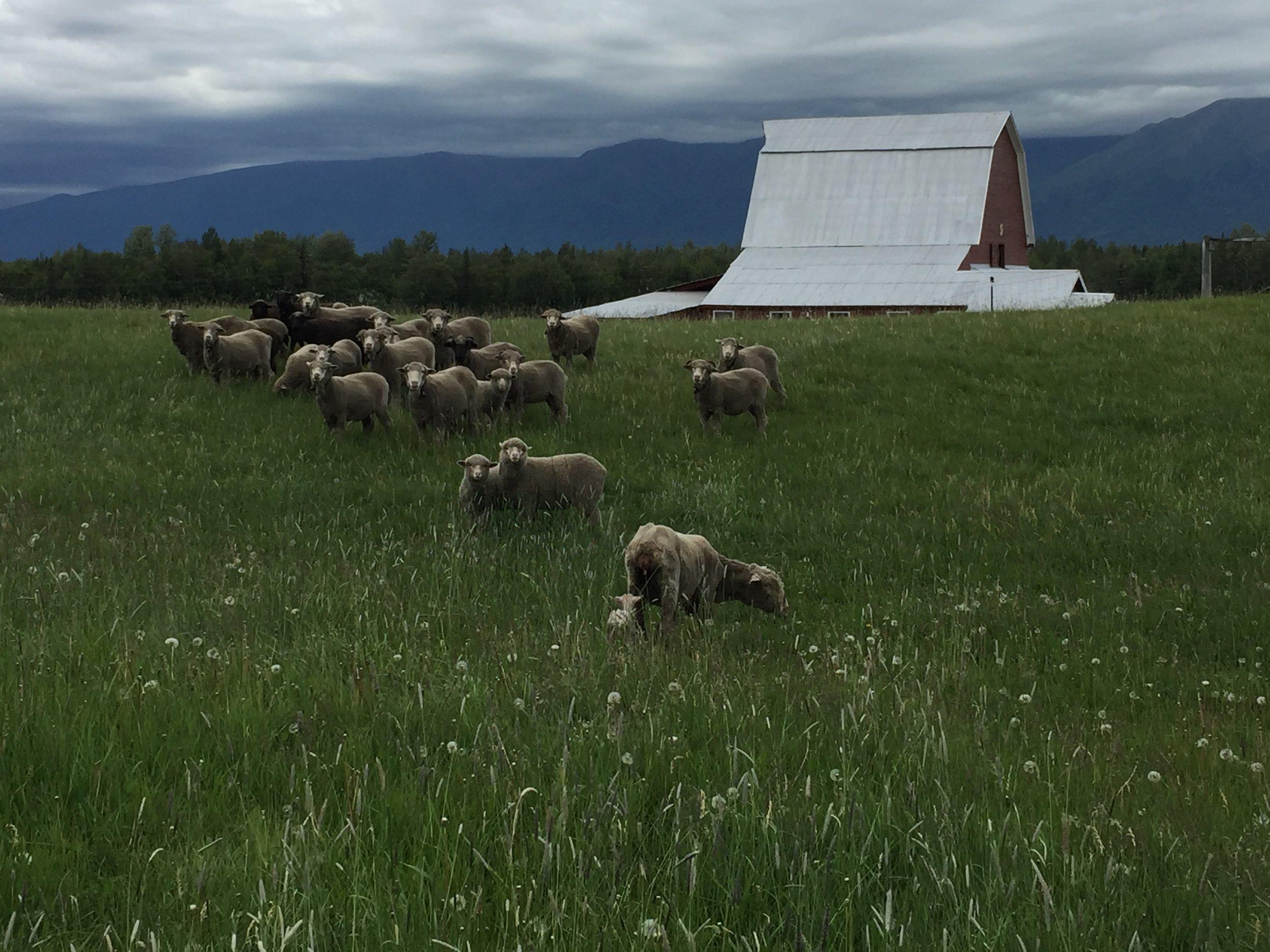 Happy sheep grazing at Yule Farm.