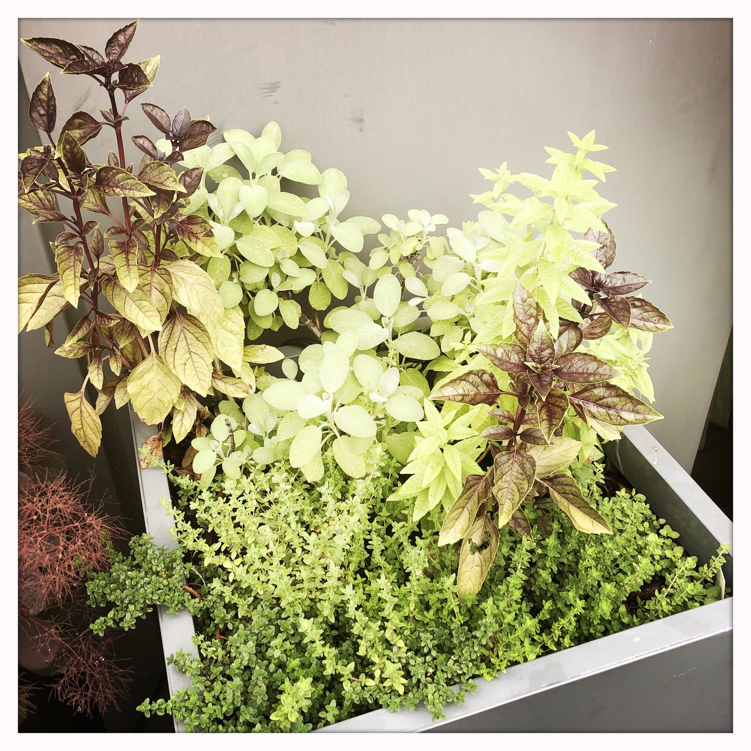 "Sage, opal basil, lemon balm, thyme, oregano. My veritable ""herban"" oasis. Sorry. Couldn't help myself."