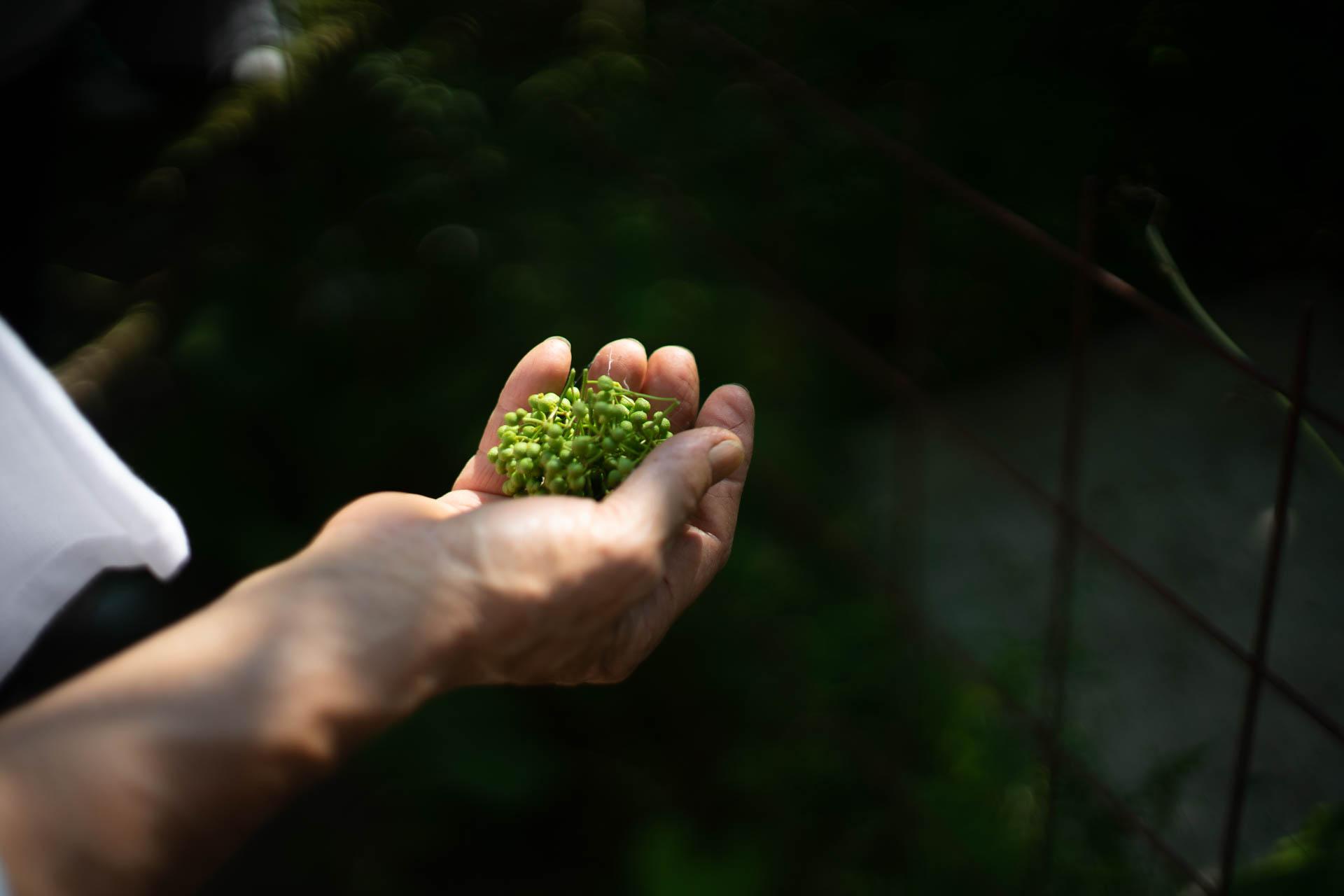収穫した実山椒
