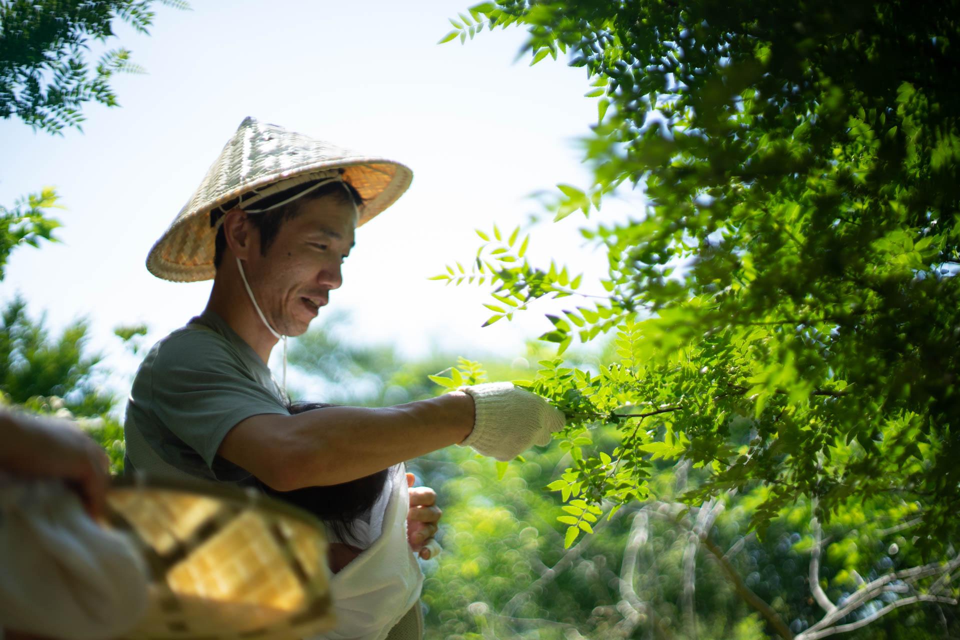 実山椒を収穫するお父さん