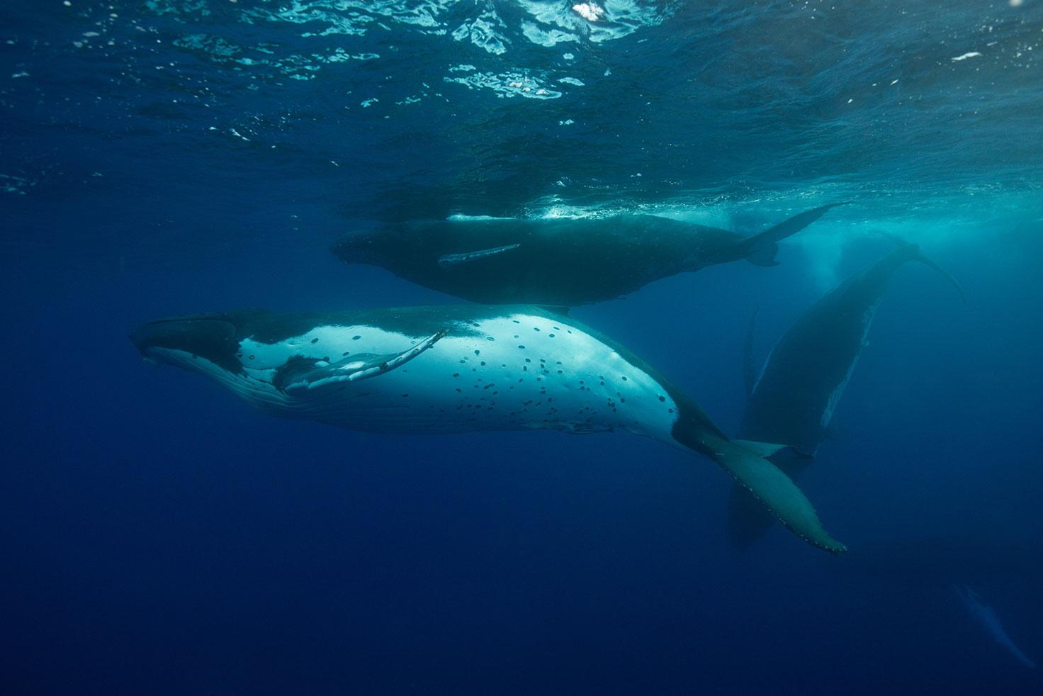 Humpback whale. @ Nicolas Job. Hema Marine Pacifique