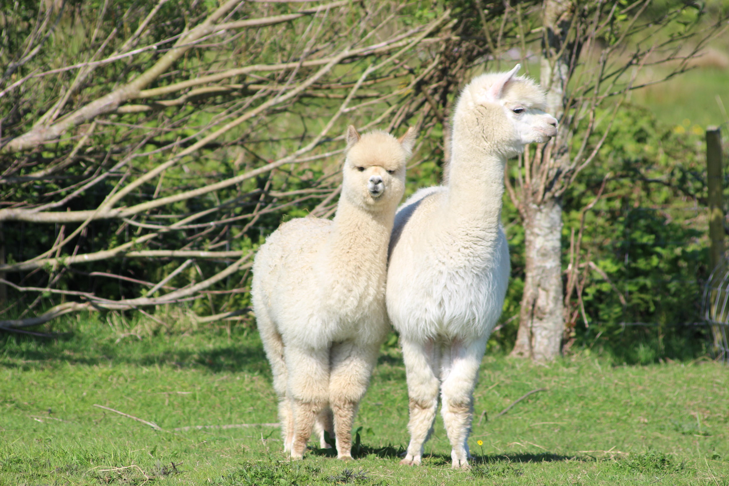Burren Canta Alba 'Mammy' and Luigi, Macho's first offspring