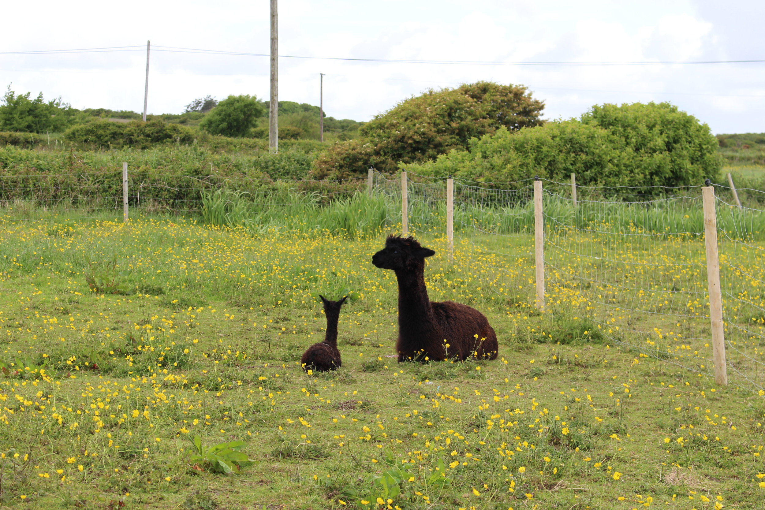 Avatar 'Nina' and her cria Nera Bellezza (Black Beauty) 'Bella' we call her