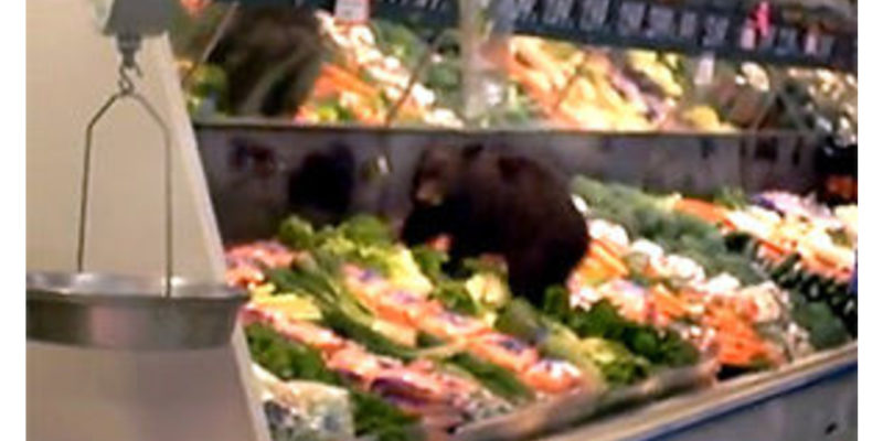 Guys. This is a real picture of when a bear cub climbed into the produce at the grocery store in Ketchikan.