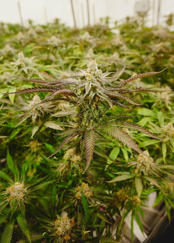 THC_Design_LosAngeles_Cannabis_0355.jpg