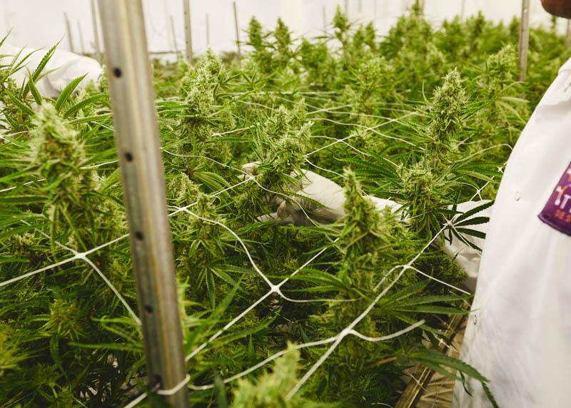 THC_Design_LosAngeles_Cannabis_0385.jpg