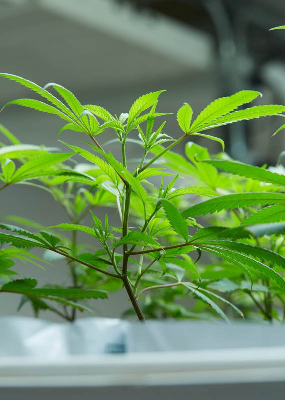 THC_Design_LosAngeles_Cannabis_0128.jpg