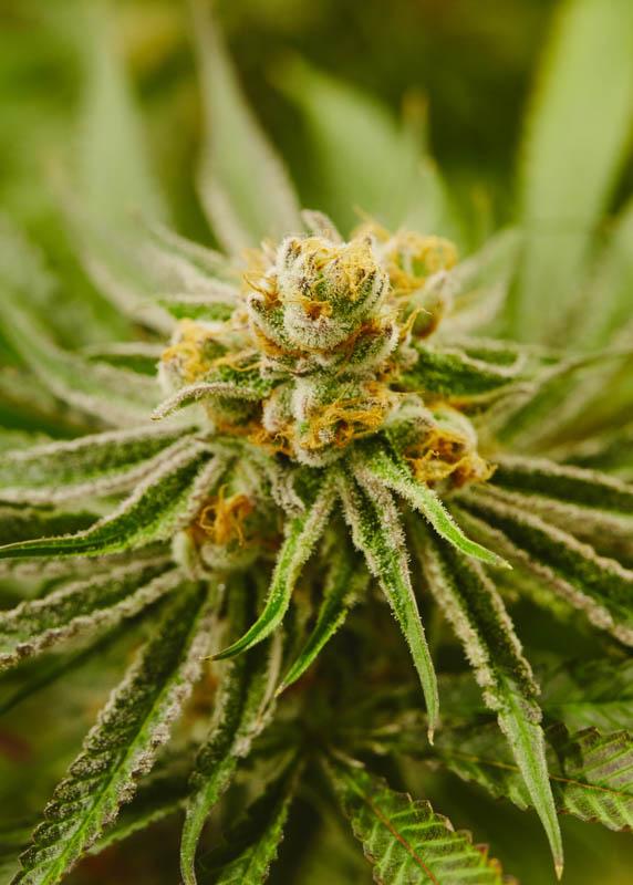 THC_Design_LosAngeles_Cannabis_0260.jpg