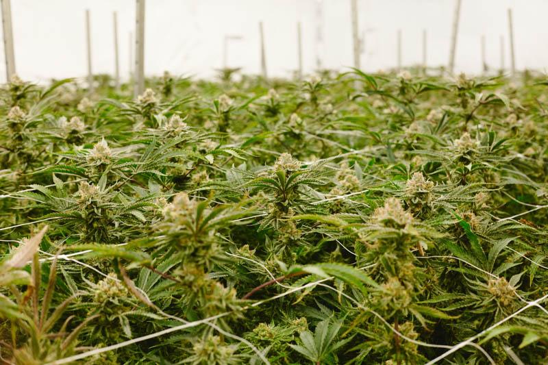 THC_Design_LosAngeles_Cannabis_0291.jpg