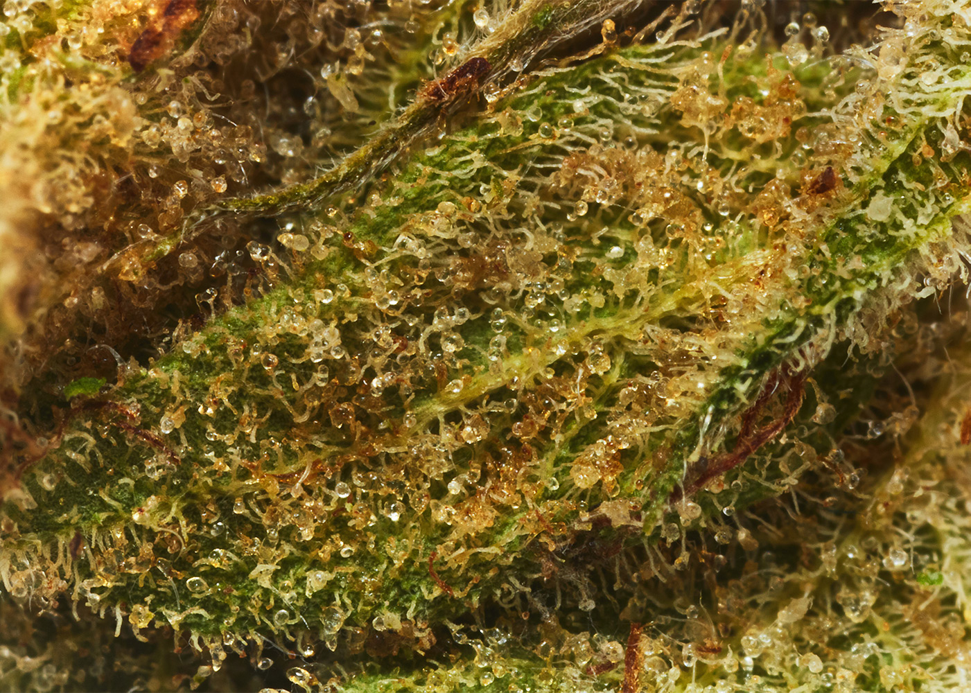 Lowell_Farms_MissUSA_Cannabis_Flower2581.jpg