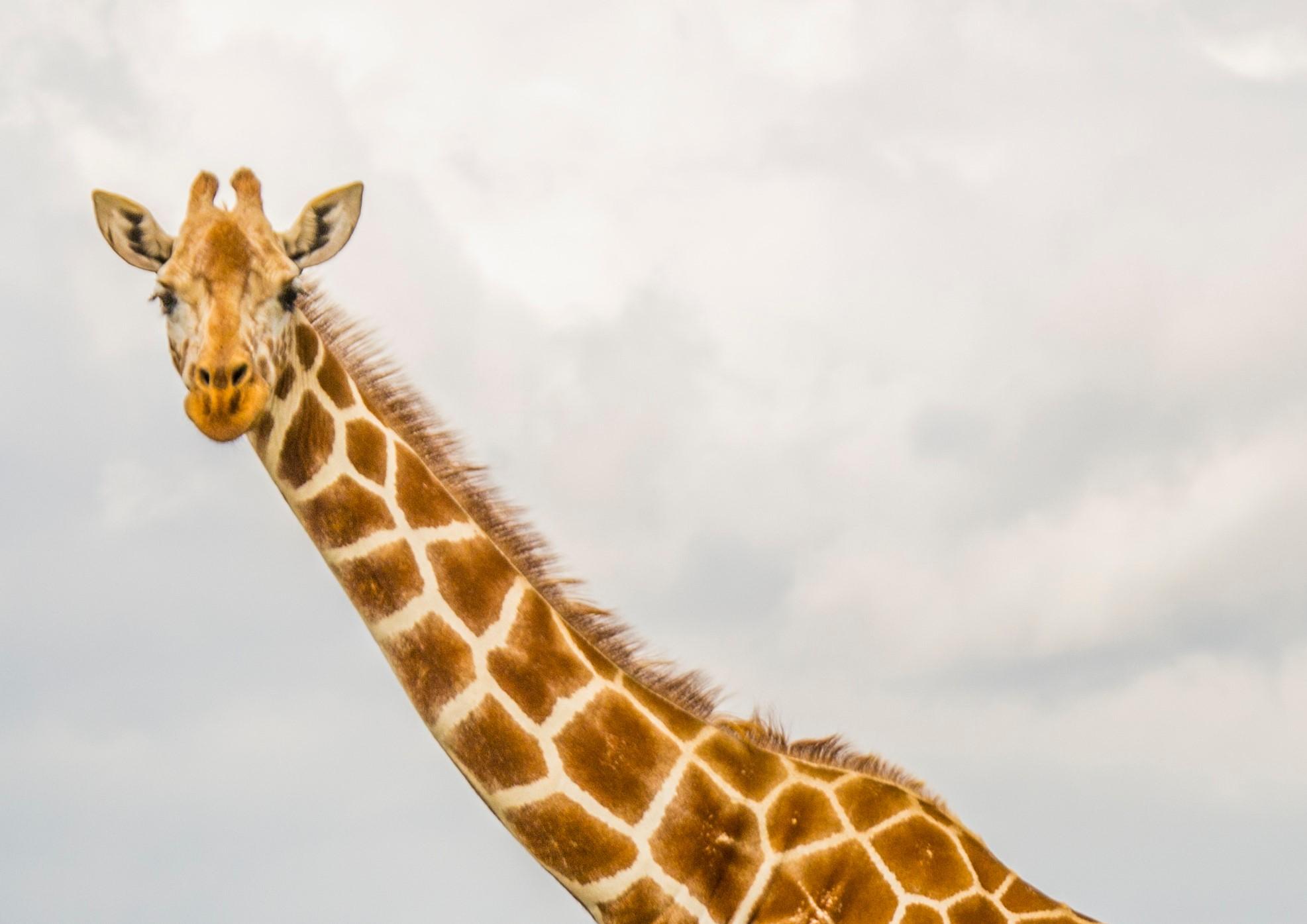 Giraffe-cropped.jpg