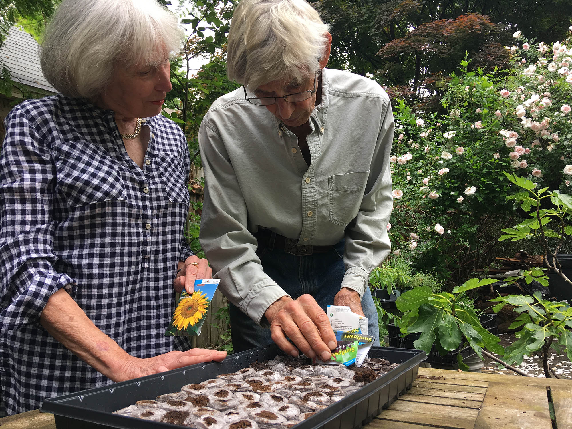 "Judy Penney and her husband, Larry Anastasi, prepare sunflower seedlings to give away as part of the Swarthmore Horticultural Society's ""Summer of the Sunflower"" project, aimed at encouraging residents to plant sunflowers and other pollinator plants in recognition of rapidly declining native bee populations.  Photo by Corey Ullman."