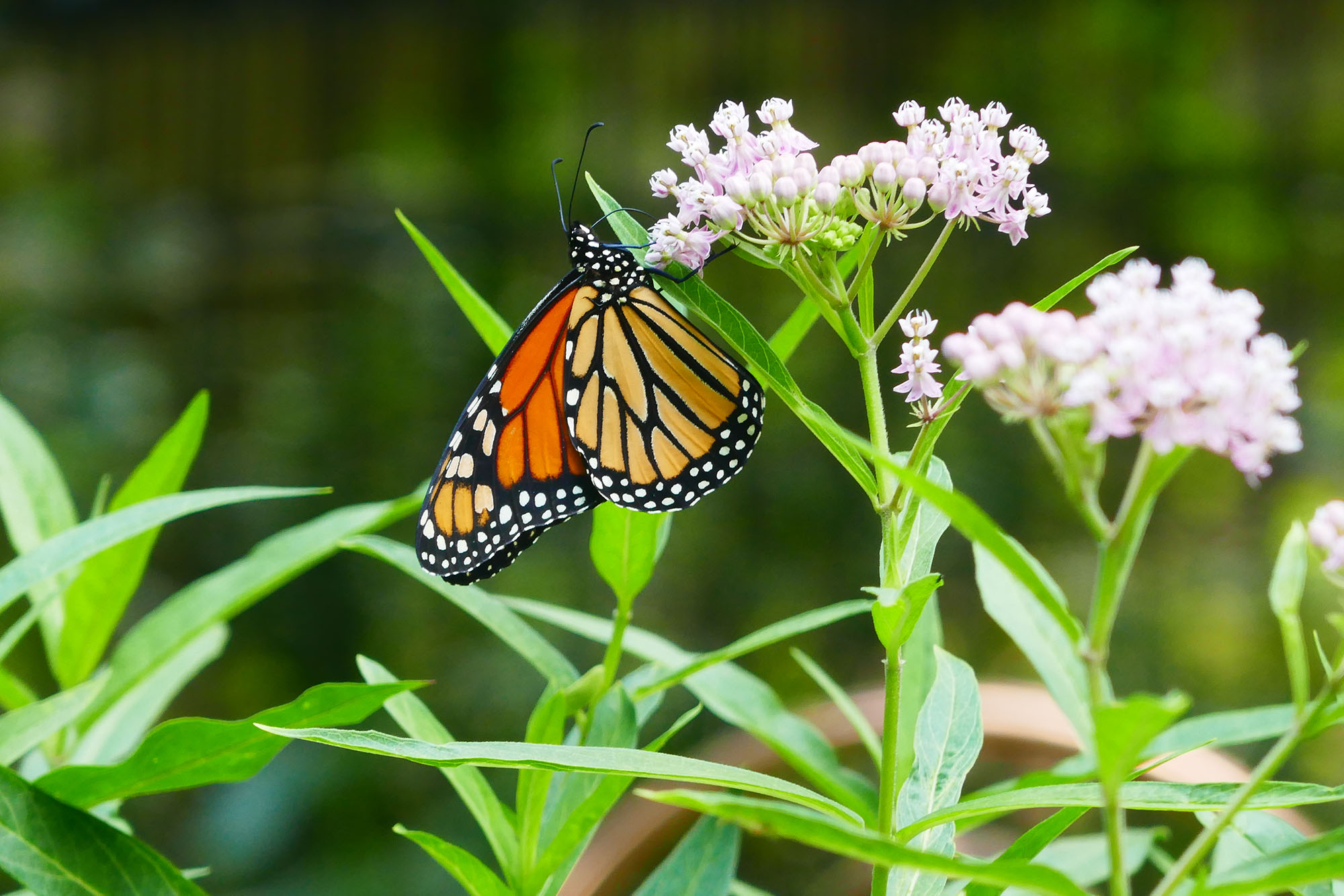 Monarch, photographed by Andrea Knox.