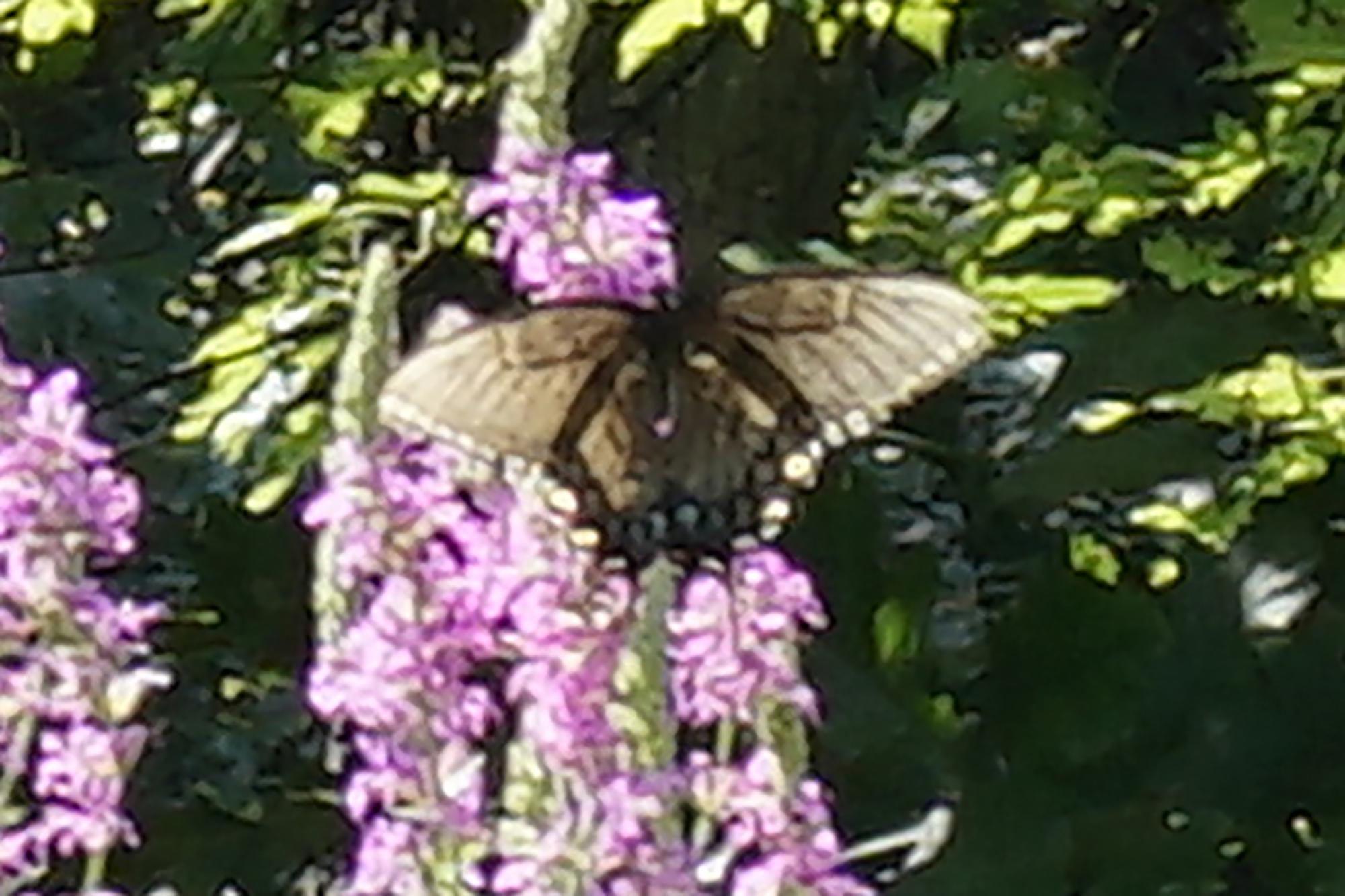 Eastern Black Swallowtail butterfly.  Photo by Jonathan Hodgson.
