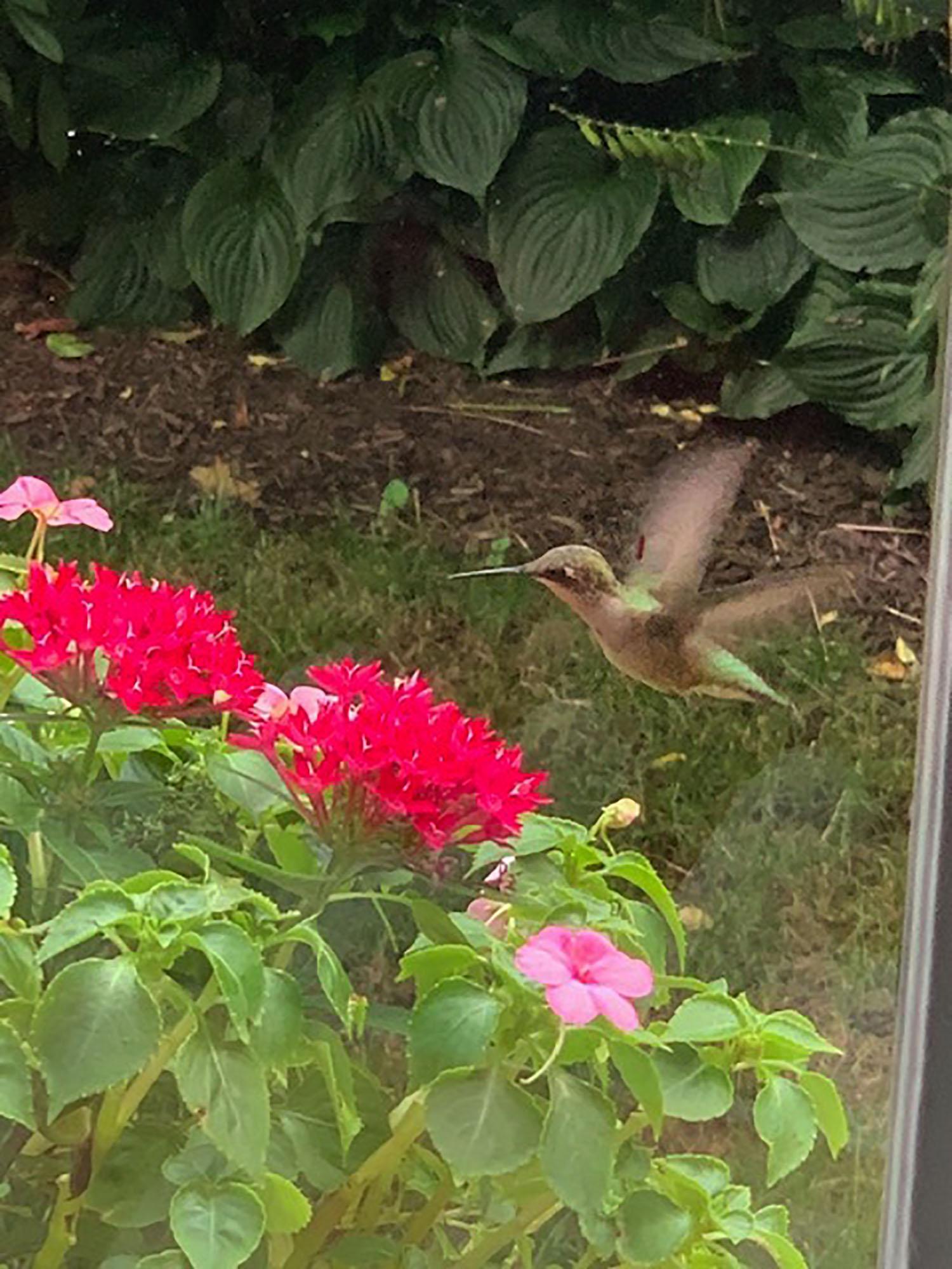 8-16 w-wildlife-hummingbird McNamara.jpg