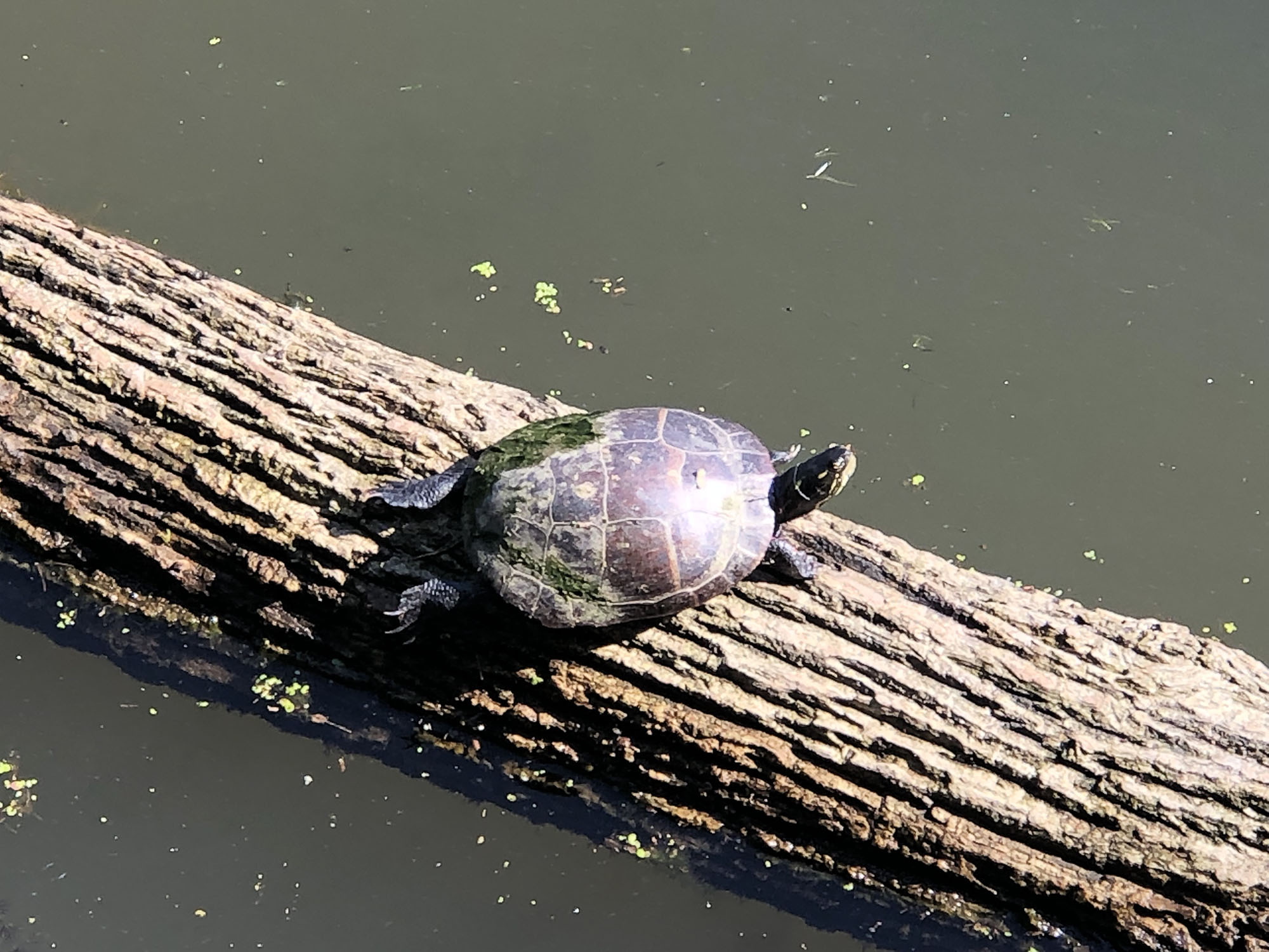 8-16 w-wildlife-painted turtle B Scott.jpg