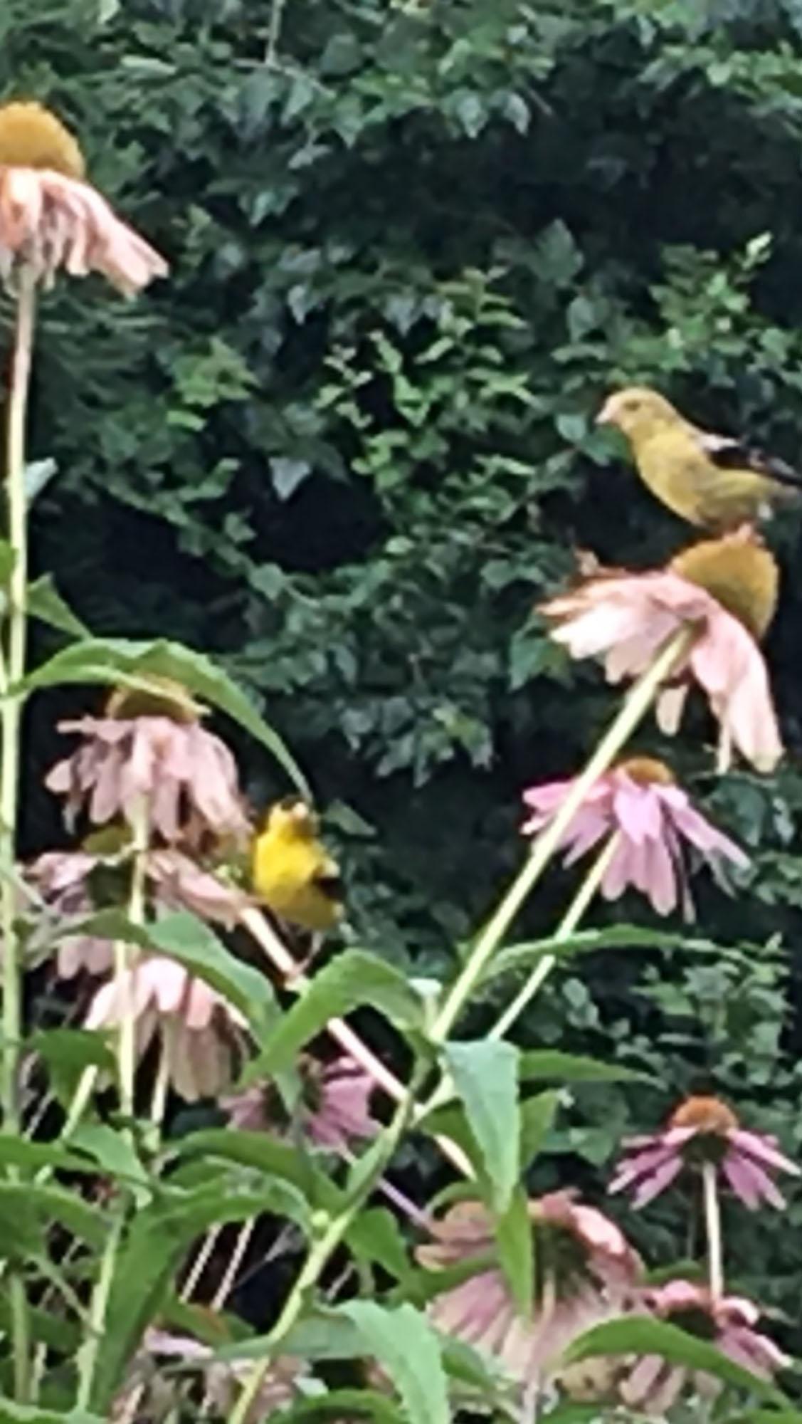 8-16 w-wildlife-yellow finch Memenger.jpg