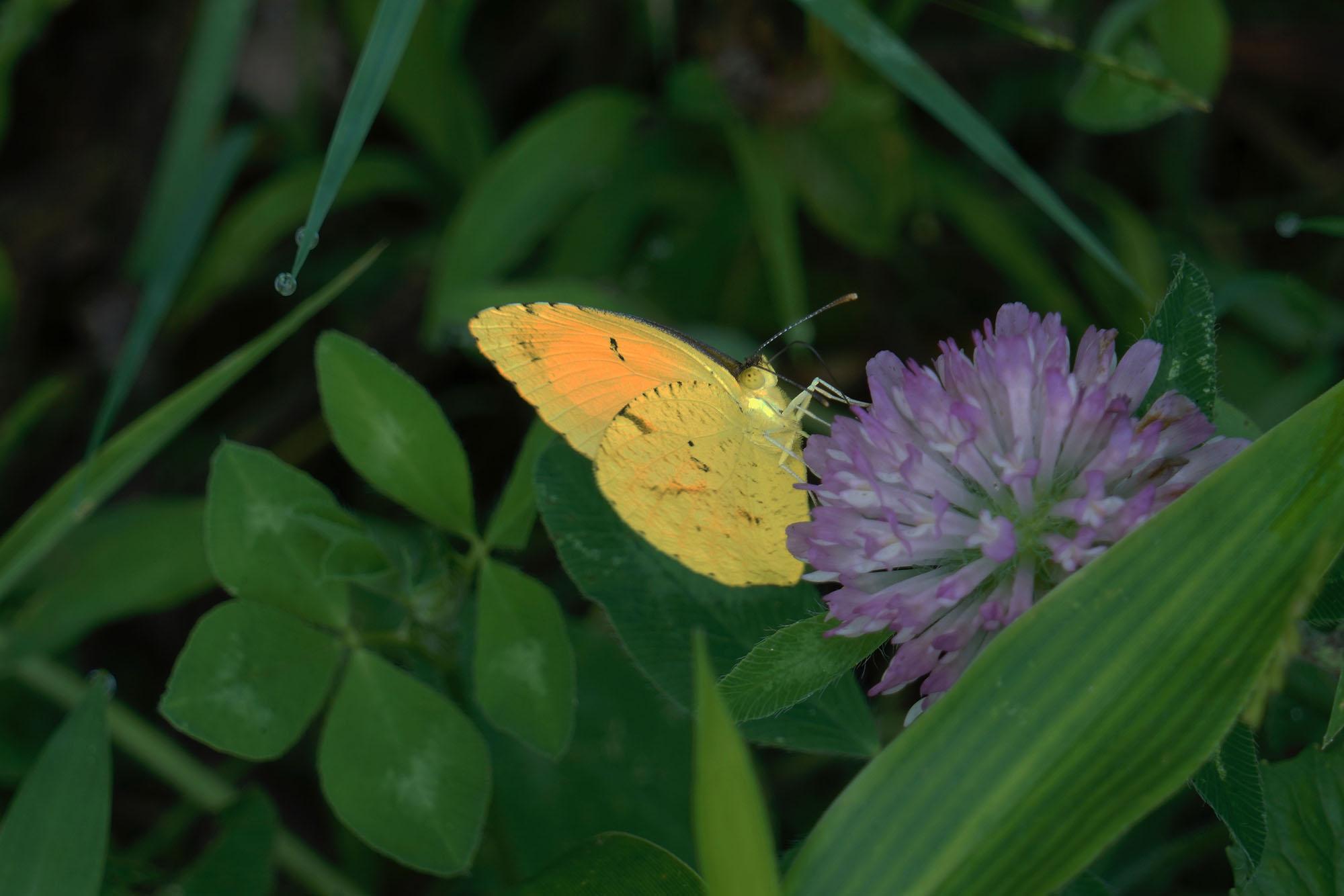 Jonathan Hodgson's Sulphur Butterfly