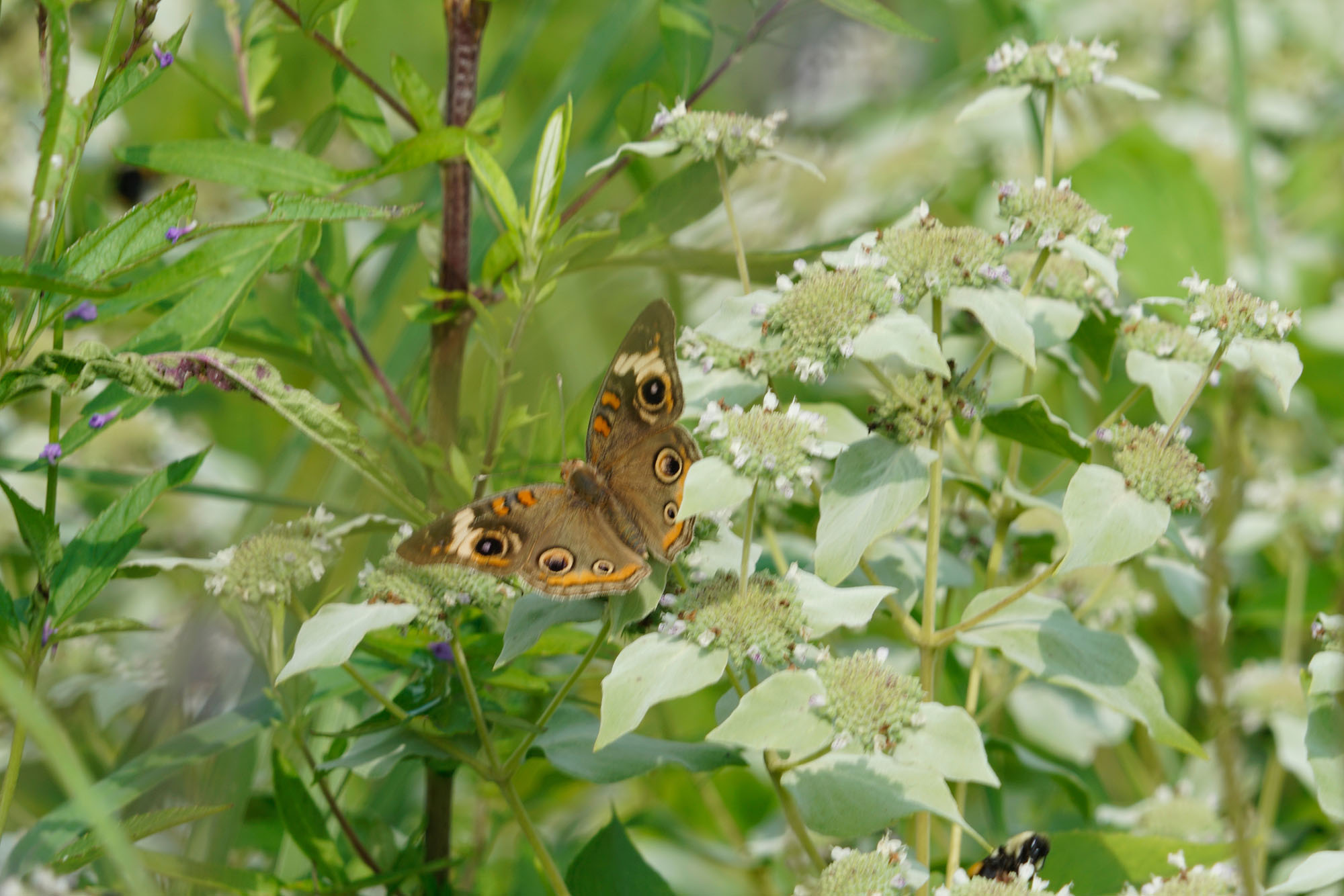 Jonathan Hodgson's Buckeye Butterfly