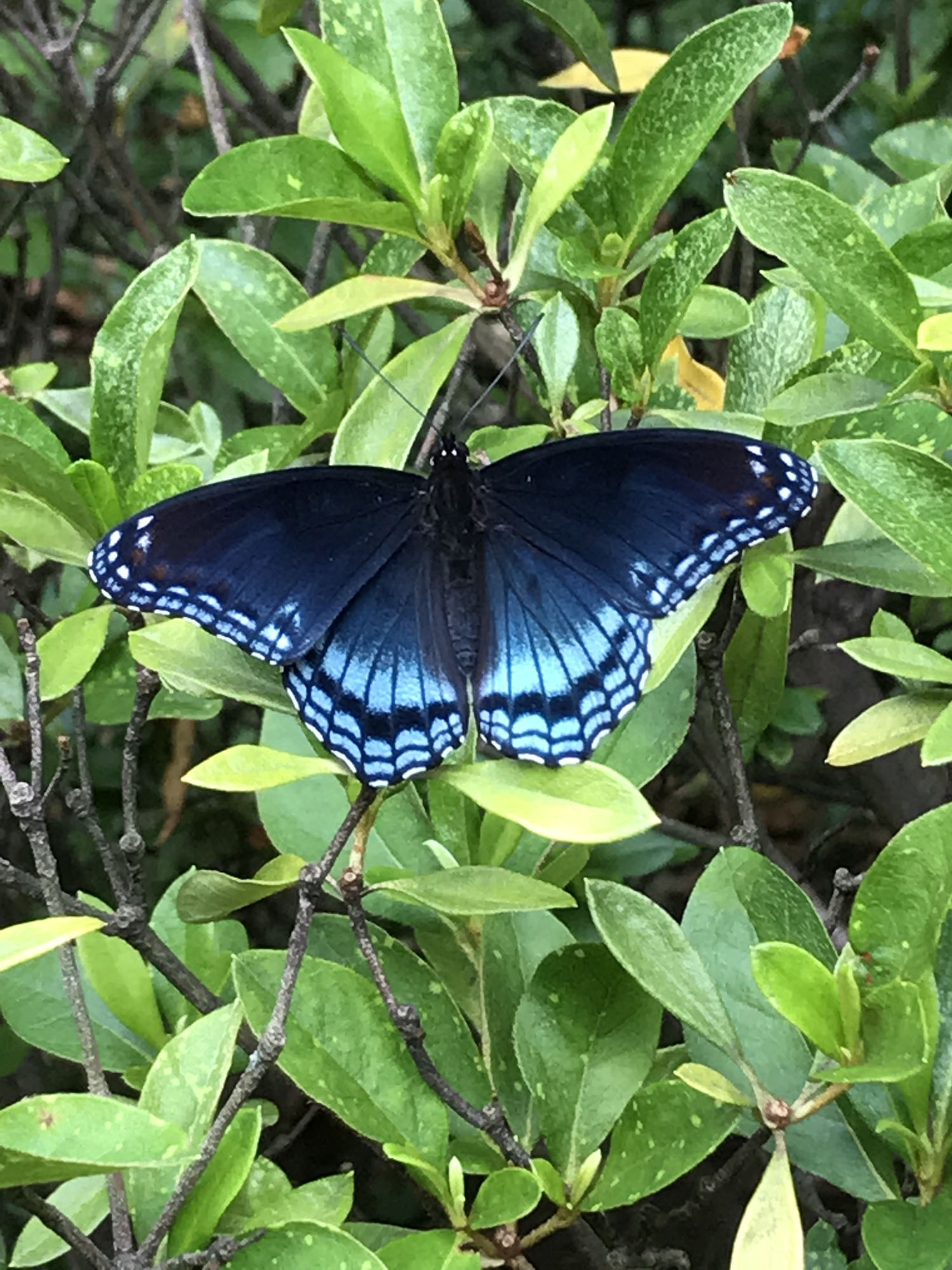 Judy Politzer's Red Spotted Purple Butterfly