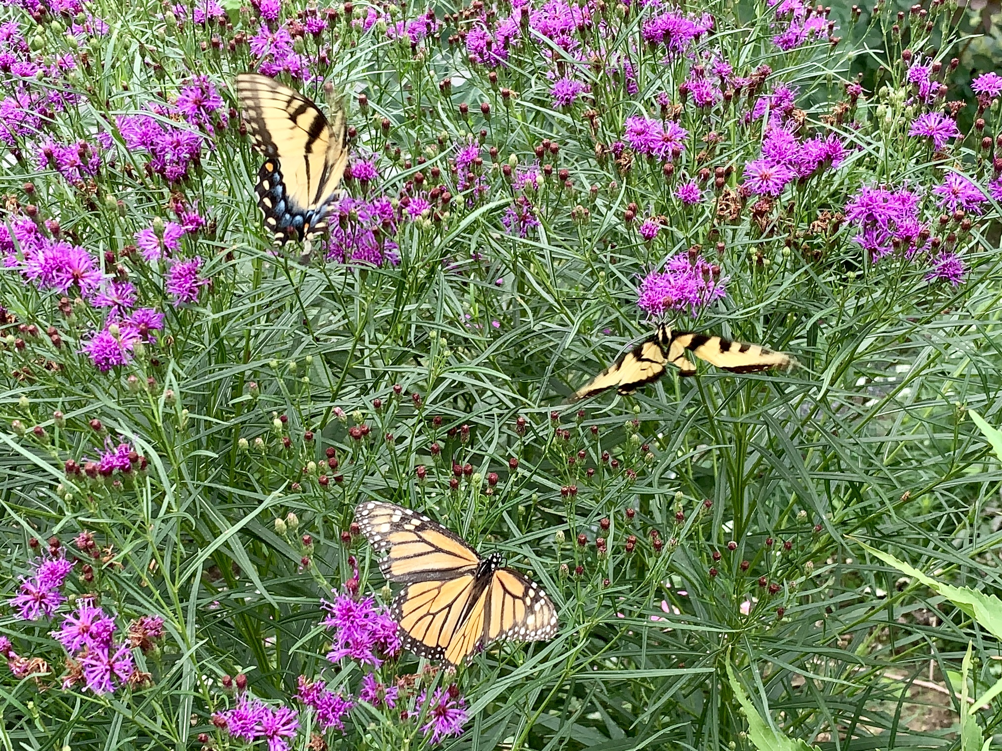 Erum Hartung's Monarch and Eastern Tiger Swallowtail butterflies