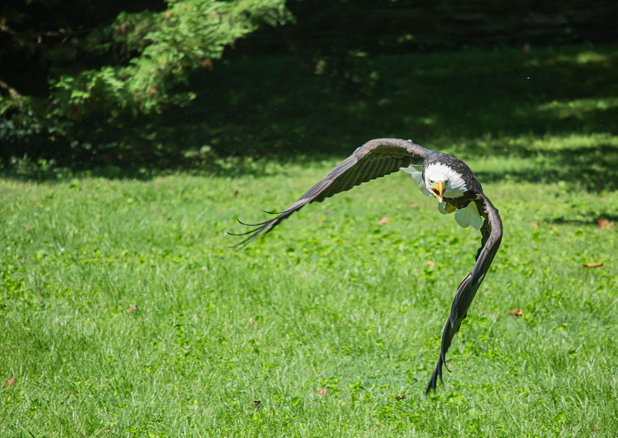 Chris Schmucki's Bald Eagle Shot