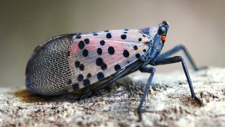 Like other leafhoppers, the lanternfly feeds on plant sap, which damages the plant, but greater harm comes as a result of the honeydew that the insect excretes in abundance. This sweet, sticky fluid promotes the growth of sooty mold, which is extremely damaging to fruit crops.