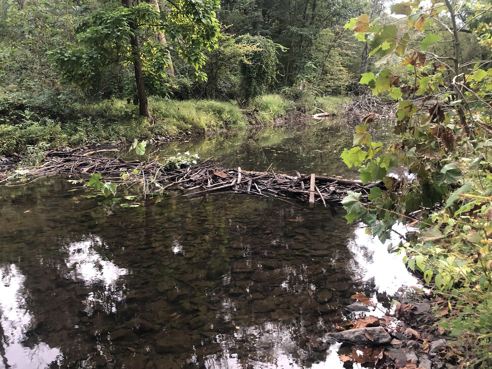 Beaver Dam on Crum Creek