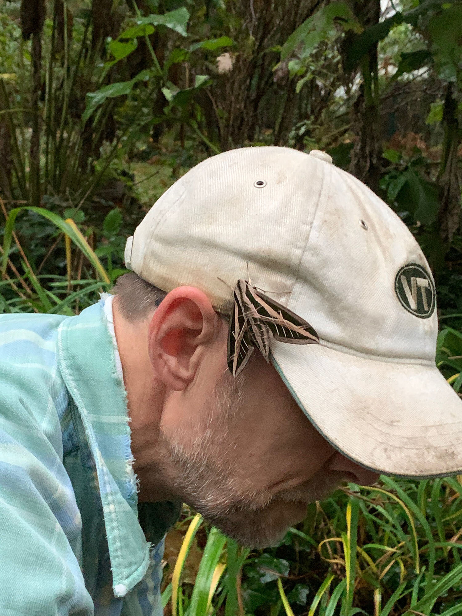 White-lined sphinx on Charles Cresson's hat