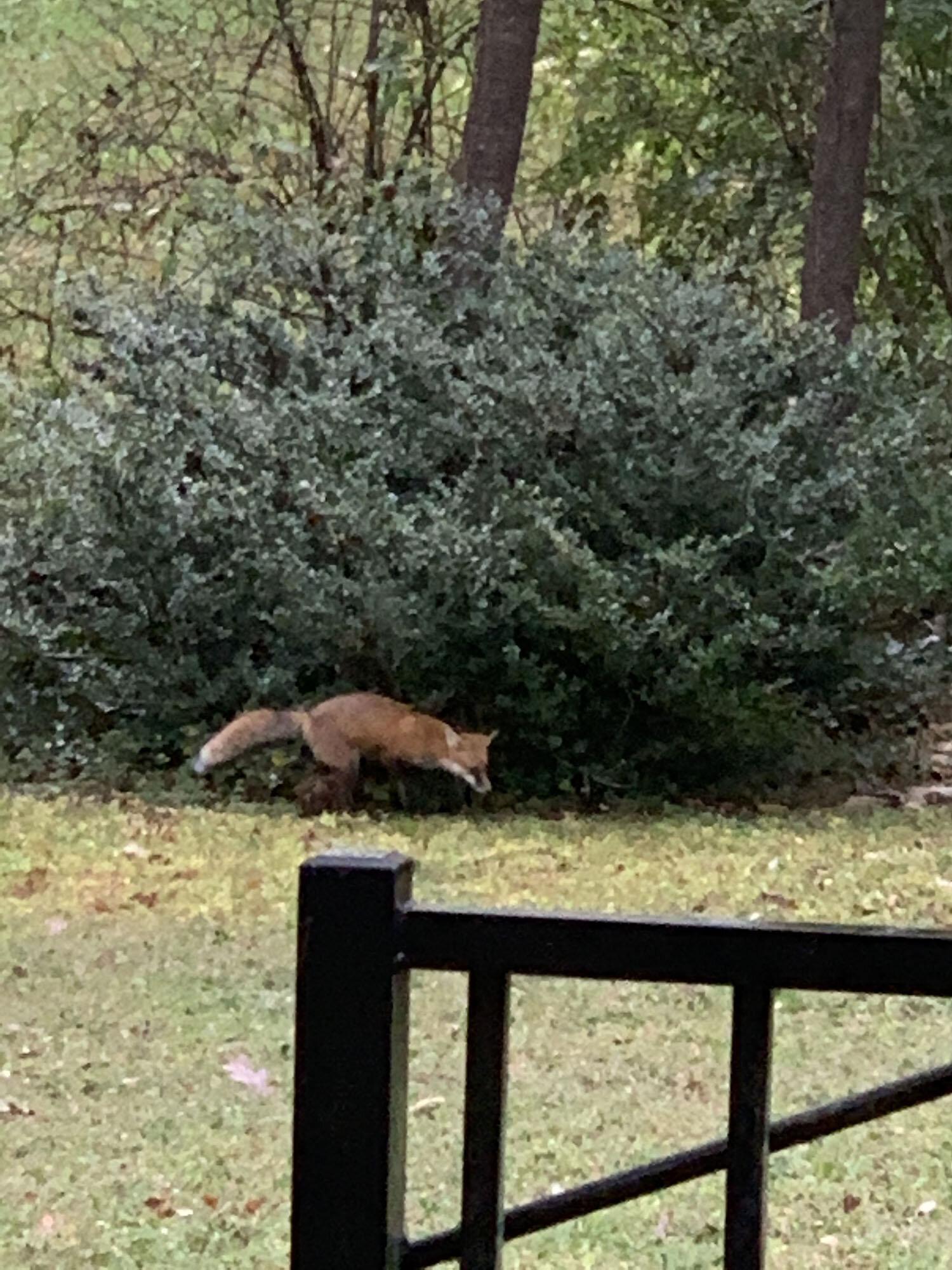 Fox in Rick Stabinski's yard