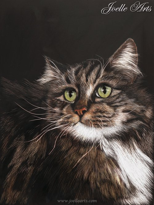 """Angel"" The Maine Coon"