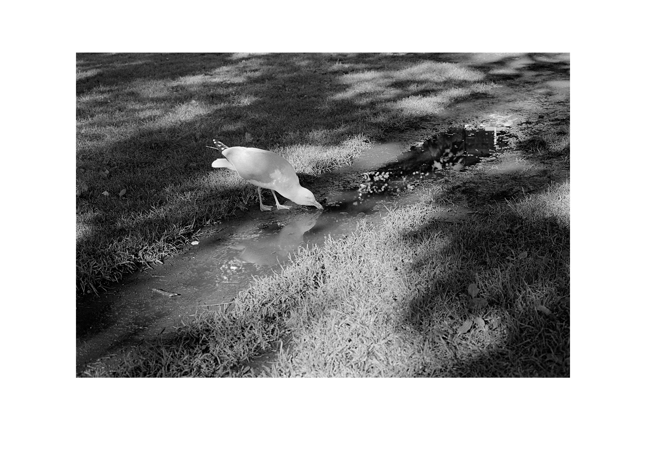 seagull drinking.jpg
