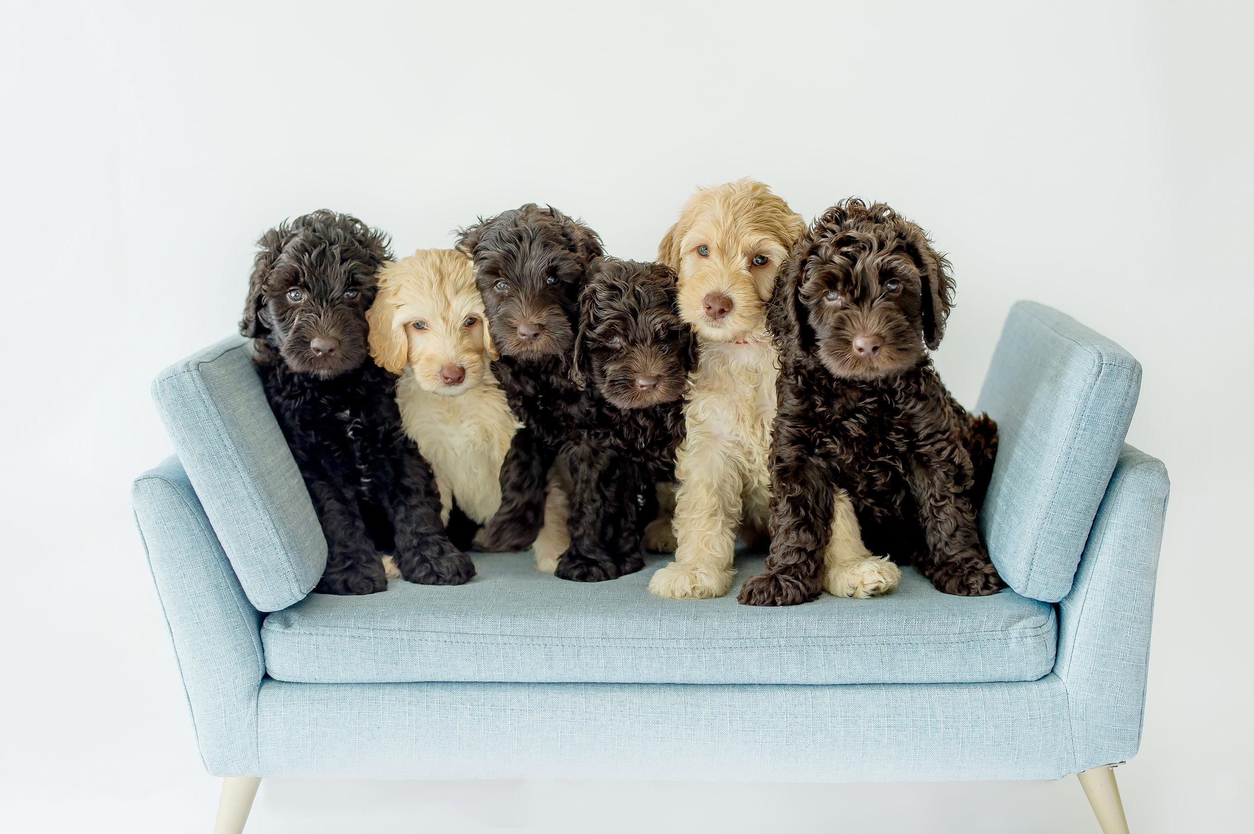 Trinity Doodles - Australian Labradoodle Puppies For Sale In Orlando