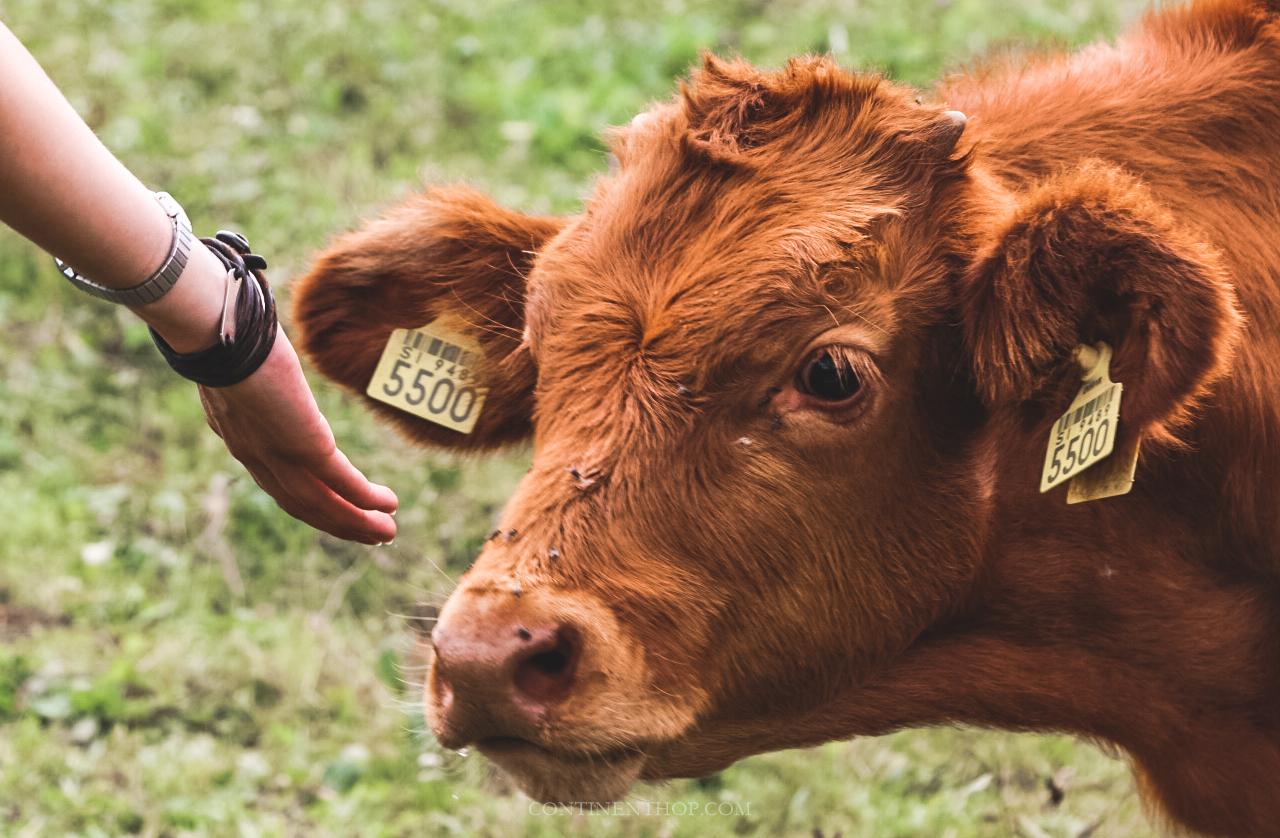 petting a cow at domacija srajf excursion from big berry luxury glamping resort in bela krajina slovenia
