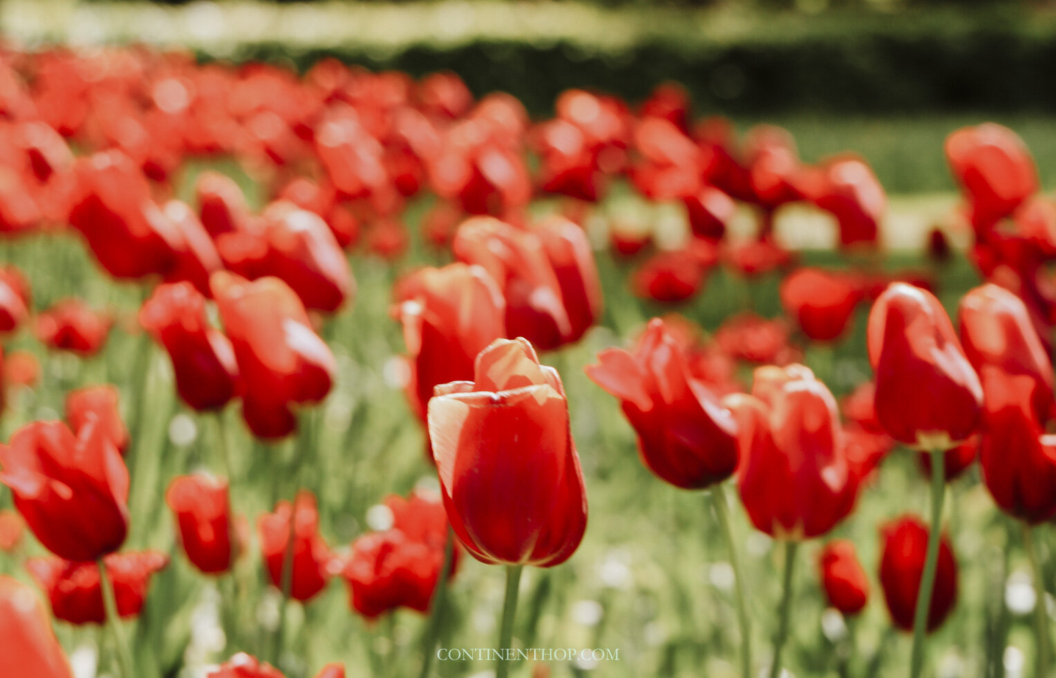 Holland Tulip Festival Keukenhof The Netherlands In Bloom Continent Hop